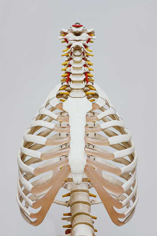 Spine and Ribs